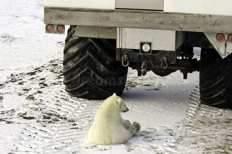 Jonge ijsbeer royalty-vrije stock afbeeldingen
