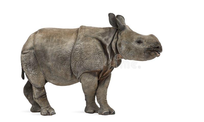 Jonge Indische één-gehoornde rinoceros (8 maanden oud) royalty-vrije stock foto's