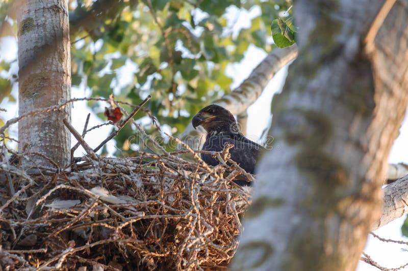 Jonge kale adelaar stock foto's