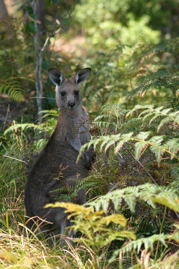 Jonge Kangoeroe stock foto
