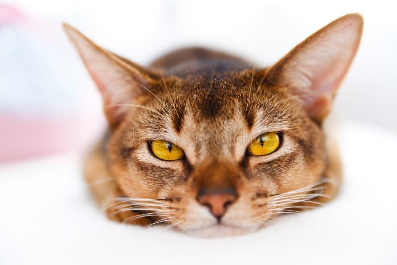 Jonge kat Abyssinian royalty-vrije stock foto