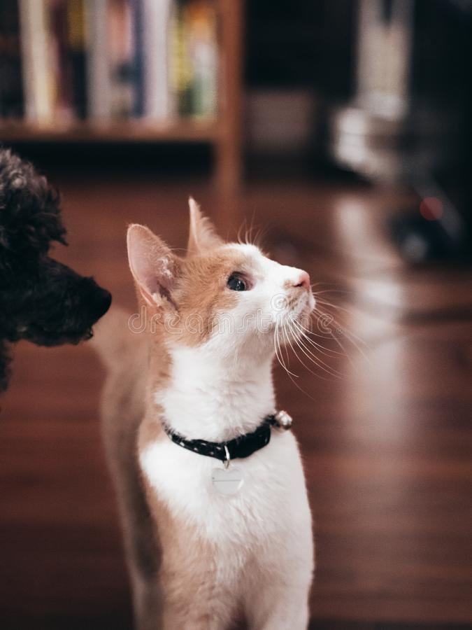 Jonge kat met poedel die omhoog eruit zien stock afbeelding