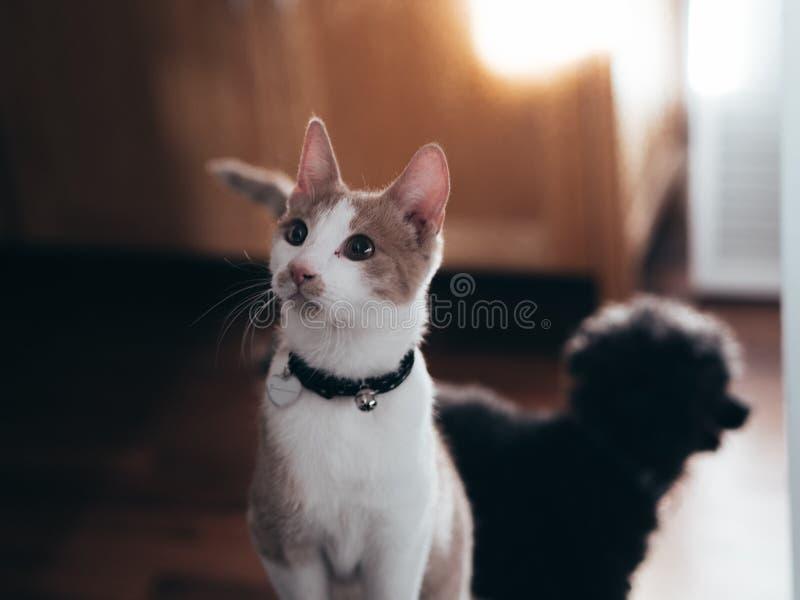 Jonge kat met poedel op achtergrond stock afbeelding
