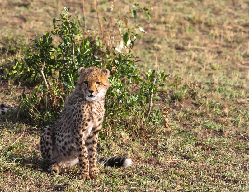 Jonge kattenjachtluipaard dichtbij boom Masai Mara, Kenia stock afbeelding
