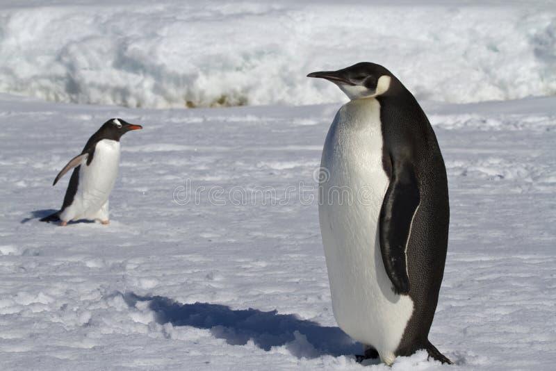Jonge keizerpinguïn en Gentoo-pinguïnen royalty-vrije stock fotografie