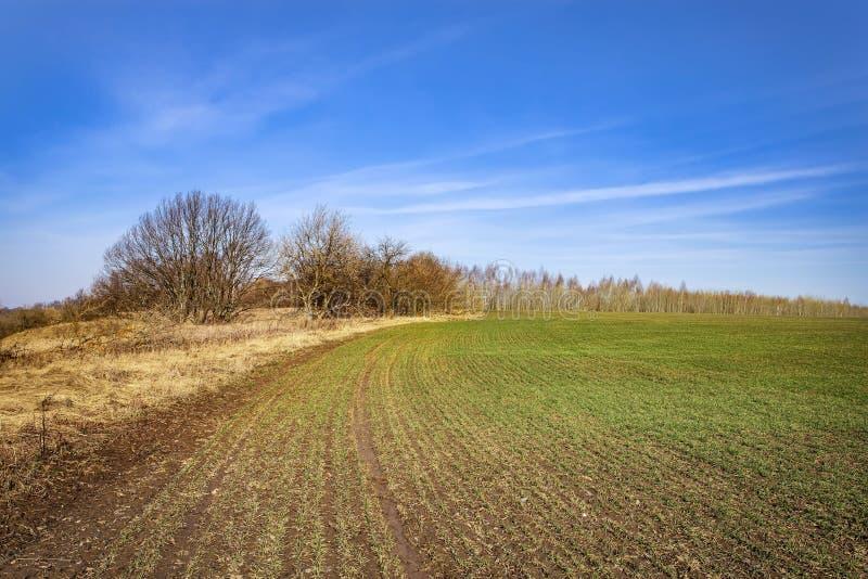 Jonge kiemen van wintertarwe van graangewassen op zonnige dag Jonge groene kiemlijn Vruchtbare landbouwgrond Symmetrische lijnen stock fotografie