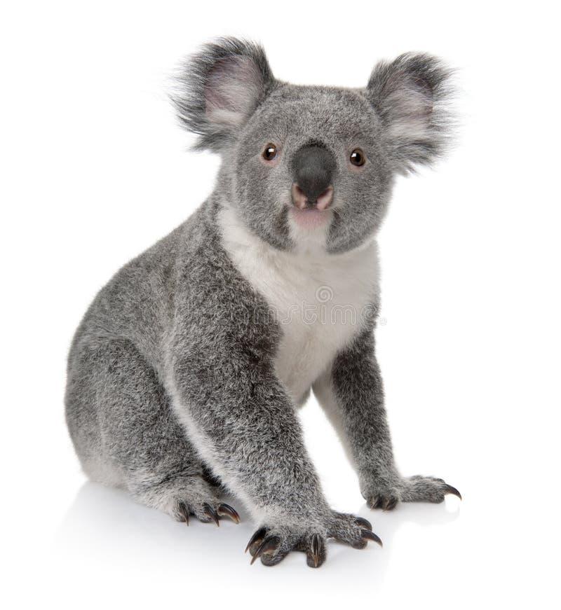 Jonge koala, Phascolarctos cinereus, 14 maanden oud stock afbeeldingen