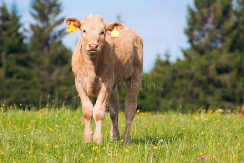 Jonge koe op weiland stock foto