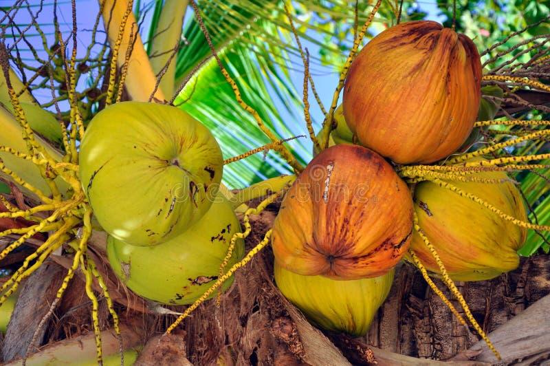 Jonge kokosnoot stock foto