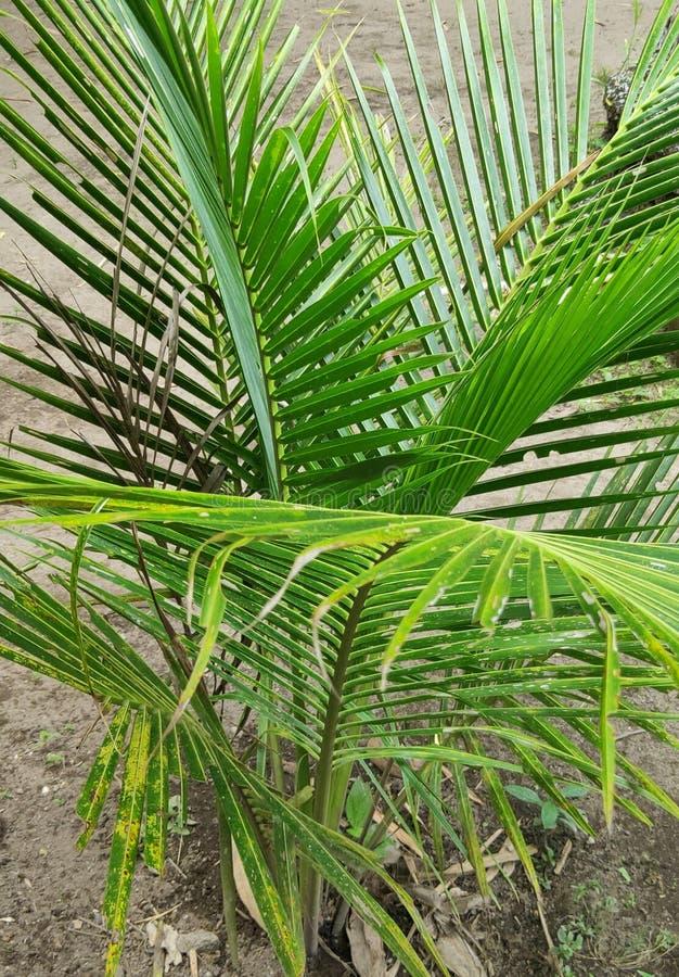 Jonge kokosnoteninstallatie royalty-vrije stock afbeelding