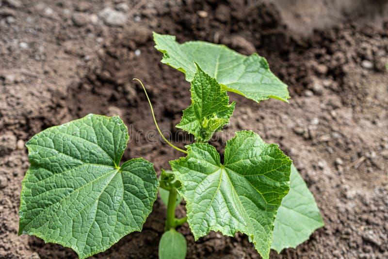 Jonge komkommerzaailingen die in de grond worden geplant Selectieve nadruk Close-up royalty-vrije stock foto