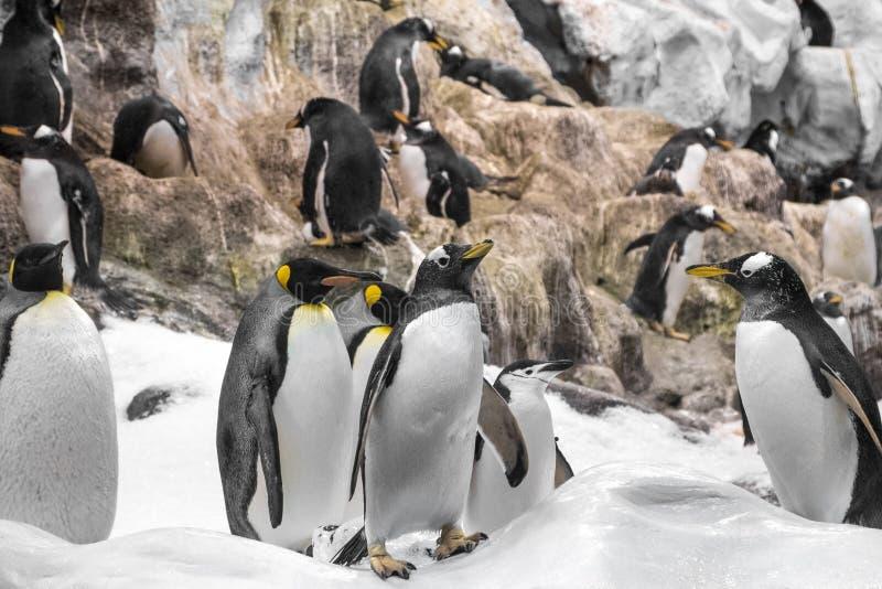 Jonge koningspinguïn, groep pinguïnen in dierentuin stock afbeelding