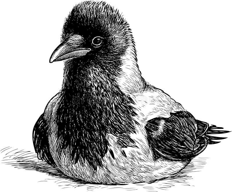 Jonge kraai stock illustratie