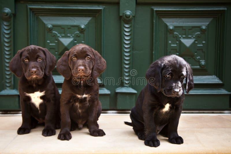 Jonge labrador retriever-puppy die bij voordeur zitten royalty-vrije stock afbeelding