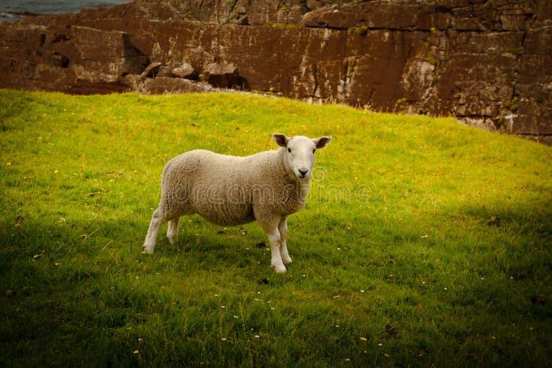 Jonge lammeren in Schotland stock afbeelding