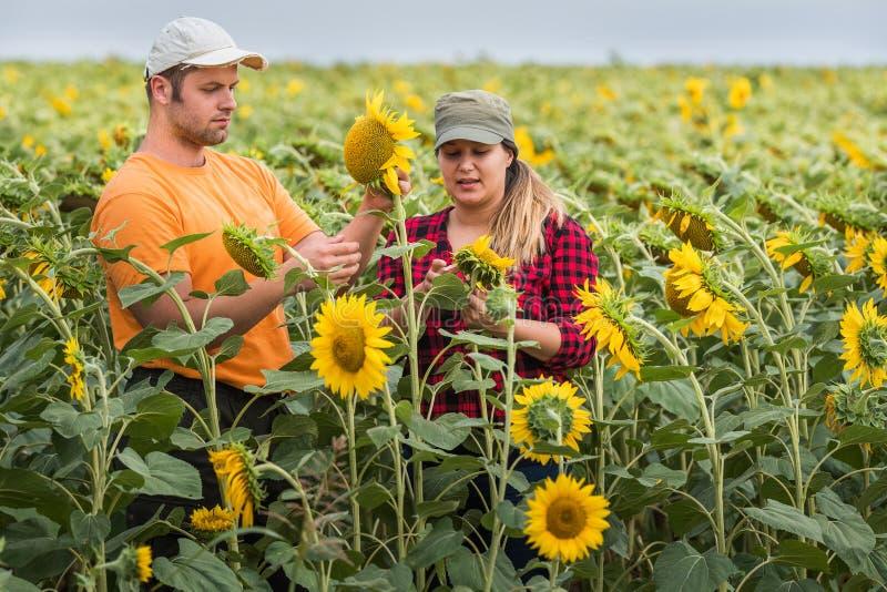 Jonge landbouwers die gewas van zonnebloemen op gebieden onderzoeken tijdens samenvatting stock afbeeldingen