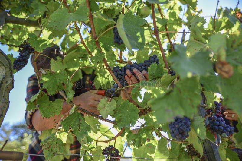 Jonge landbouwersmens tijdens oogst in Italië op een zonnige de herfstdag stock foto
