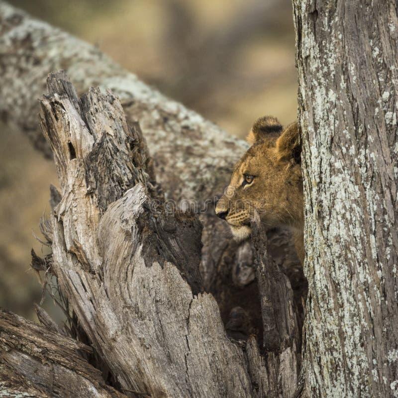 Jonge leeuw die zich in een boomstam bevinden royalty-vrije stock afbeelding