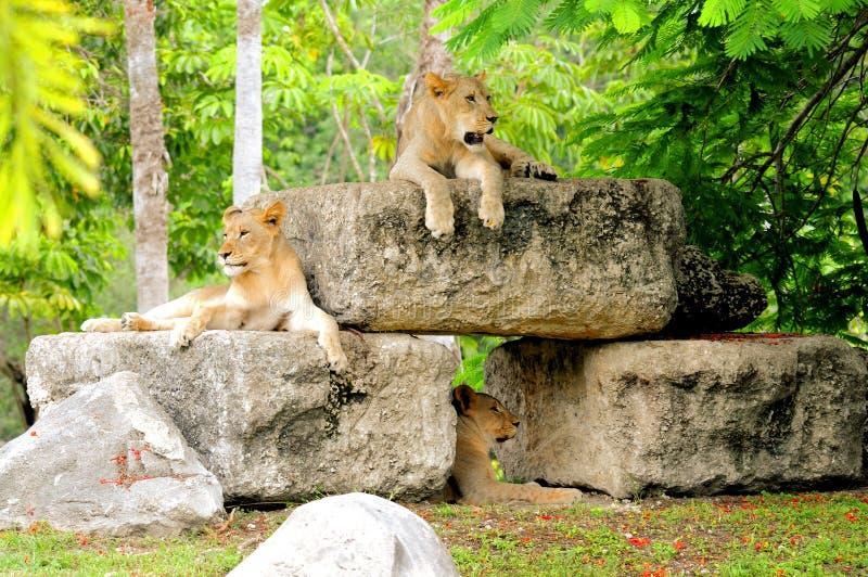 Jonge leeuwen op rotsen en volwassene op grond stock fotografie
