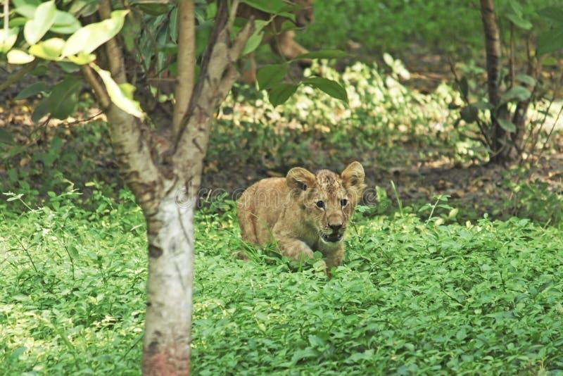 Jonge leeuwwelp in de wildernis stock foto's
