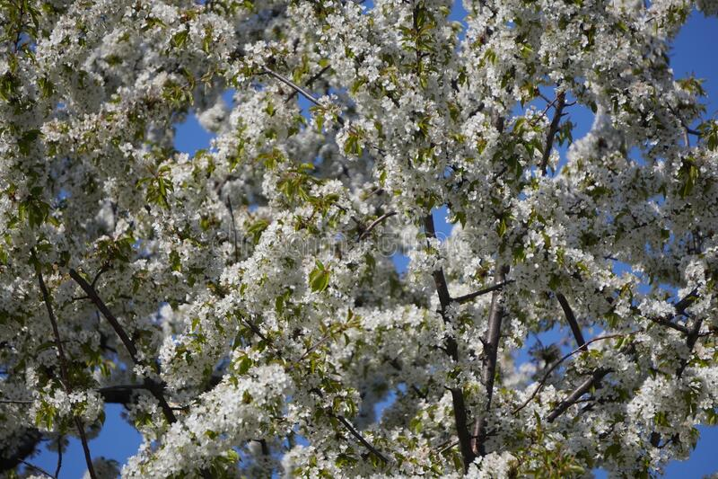 Jonge lente witte kleine bloemen van appel- of perzikbomen op de takken De eerste bloemen, het ontwaken van de natuur in de lente royalty-vrije stock fotografie