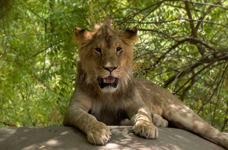 Jonge Lion Sitting-oprit royalty-vrije stock afbeelding