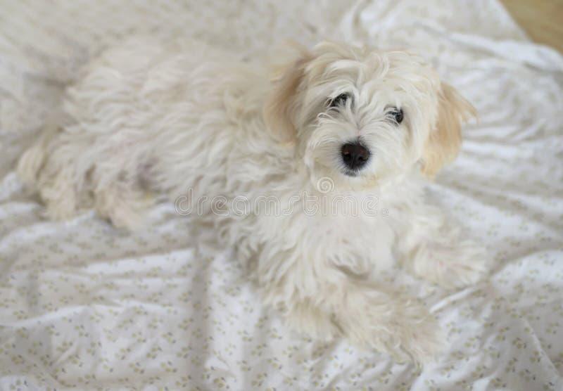 Jonge Maltese hond royalty-vrije stock foto's