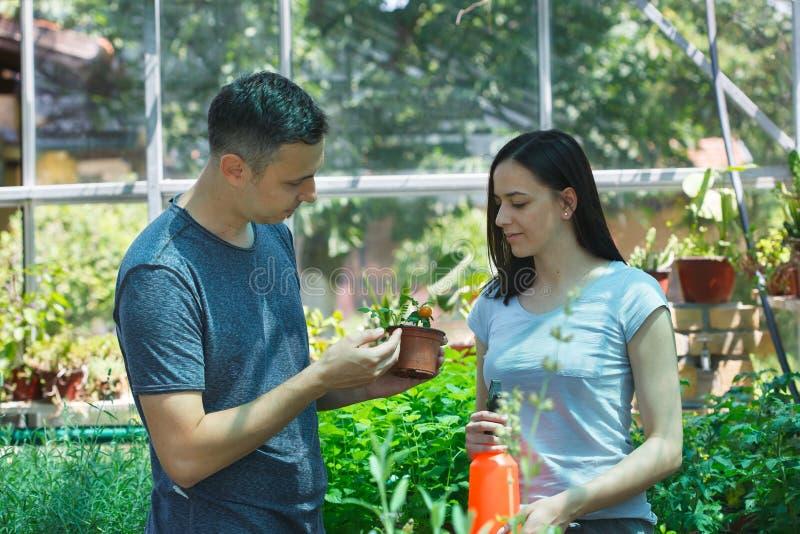 Jonge man en vrouwenlandbouwers die tomaten in een serre kweken stock foto's
