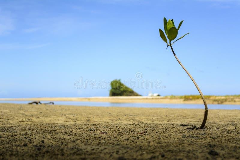 Jonge mangroveboom dichtbij het Strand Palawan Filippijnen van kustsabang stock fotografie