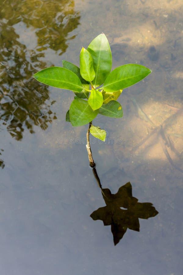 Download Jonge mangroven. stock foto. Afbeelding bestaande uit toneel - 39115464