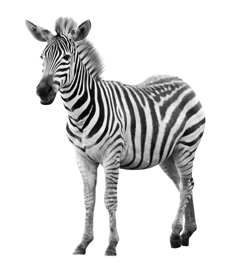 Jonge mannelijke geïsoleerdek zebra stock afbeeldingen