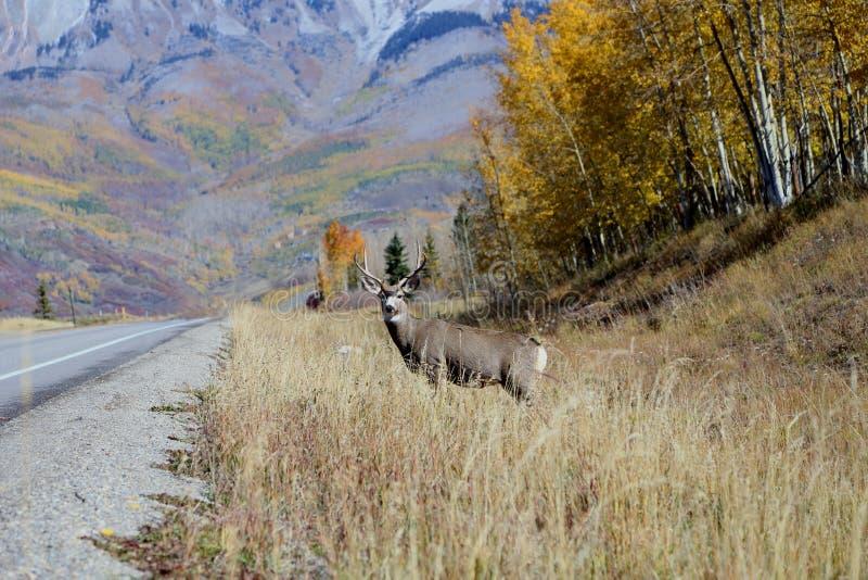 Jonge mannelijke herten die zich in droog gras bevinden die op inkomend verkeer letten royalty-vrije stock afbeeldingen