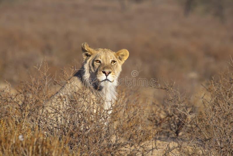 Jonge mannelijke Leeuw in de woestijn royalty-vrije stock fotografie