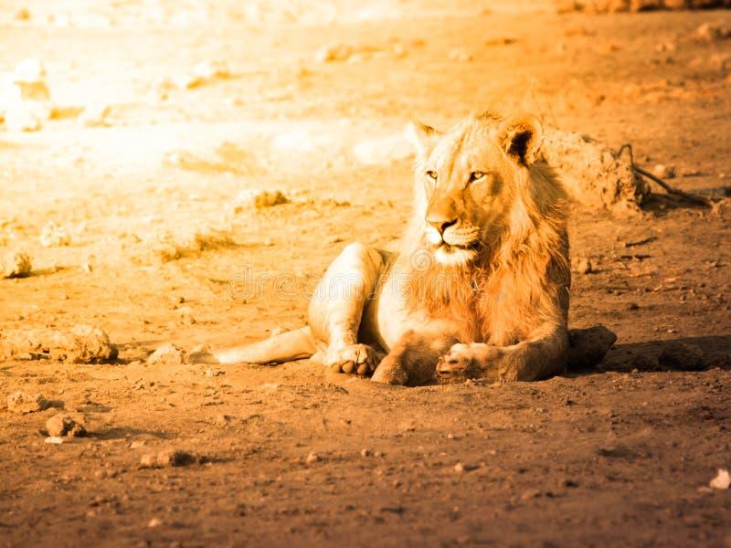Jonge mannelijke leeuw die een rust op stoffige grond in zonsondergangtijd, het Nationale Park van Etosha, Namibië, Afrika hebben stock fotografie