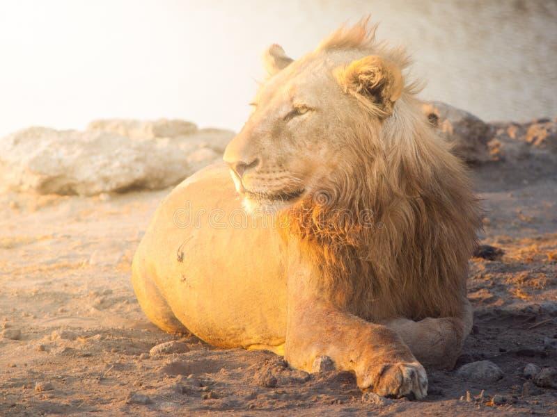 Jonge mannelijke leeuw die een rust op stoffige grond in zonsondergangtijd, het Nationale Park van Etosha, Namibië, Afrika hebben stock foto's