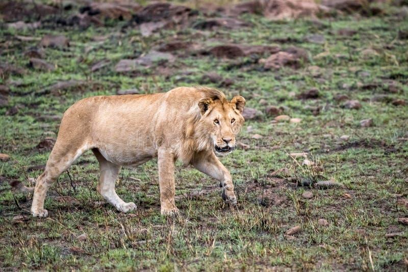 Jonge mannelijke leeuw die op een rotsachtige heuvel in de Masai Mara loopt stock foto's