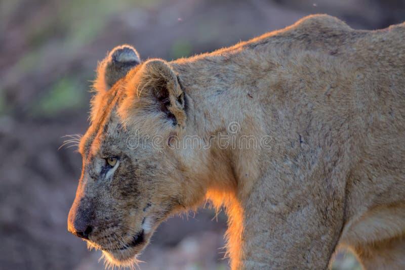 Jonge Mannelijke Leeuw in het Nationale Park van Kruger royalty-vrije stock afbeeldingen