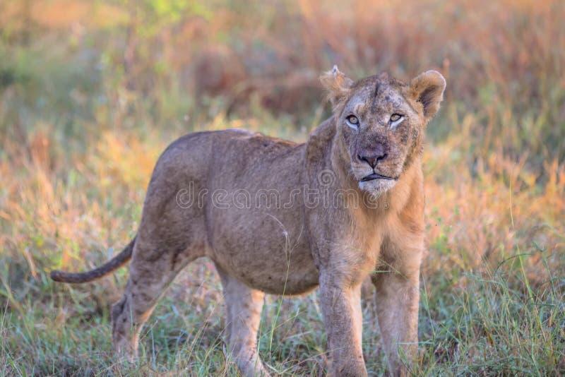 Jonge Mannelijke Leeuw in het Nationale Park van Kruger royalty-vrije stock afbeelding