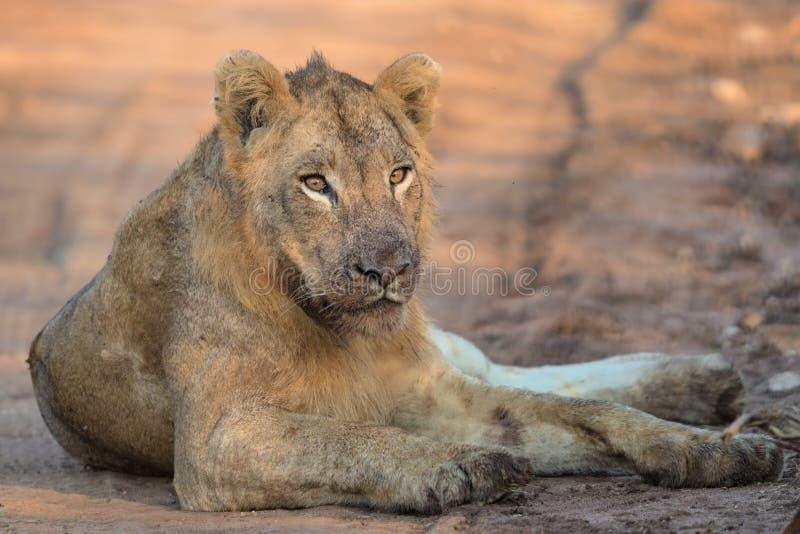 Jonge Mannelijke Leeuw in het Nationale Park van Kruger stock foto