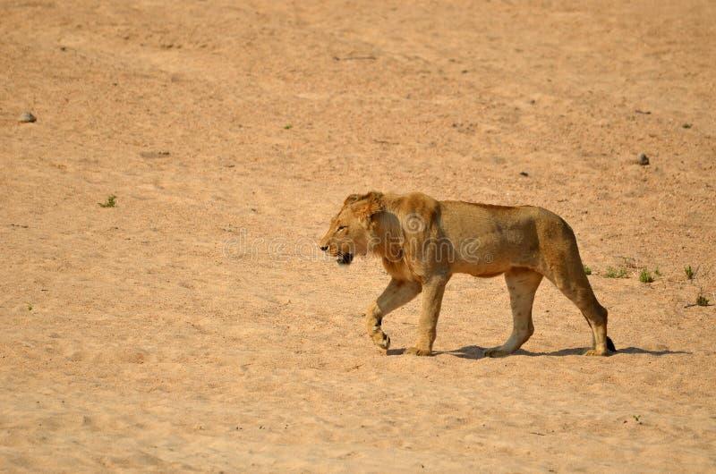 Jonge mannelijke leeuw (Panthera-leo) royalty-vrije stock afbeelding