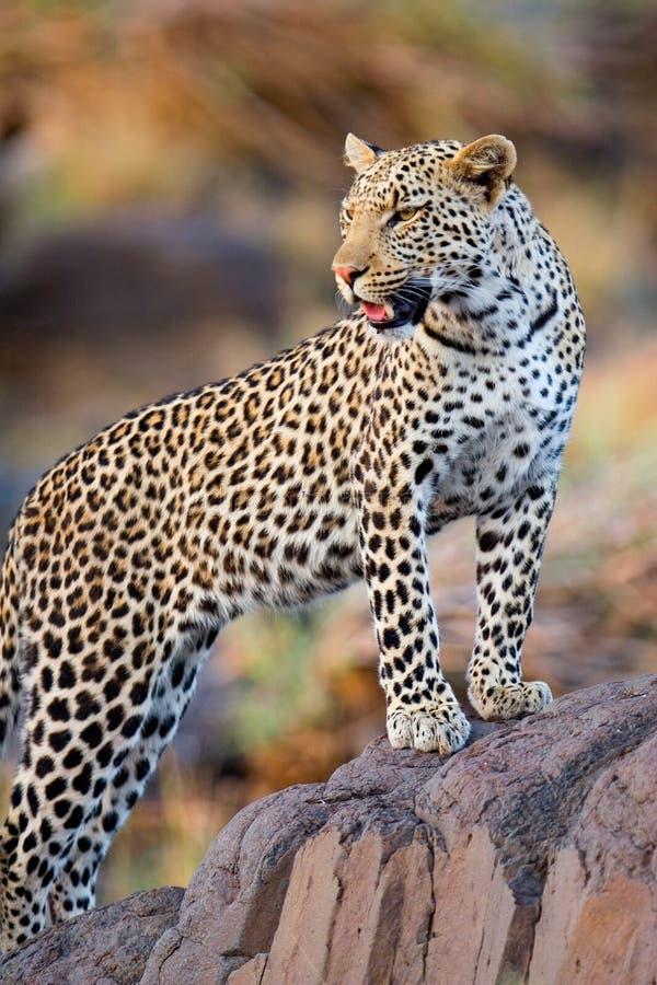 Jonge mannelijke luipaard royalty-vrije stock foto's