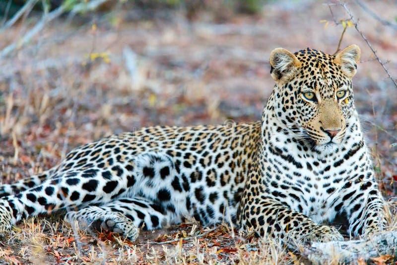 Jonge mannelijke luipaard stock foto's