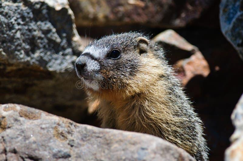 Jonge Marmot royalty-vrije stock fotografie