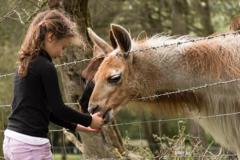Jonge meisje het voeden wortel aan lama's op een gebied royalty-vrije stock afbeeldingen