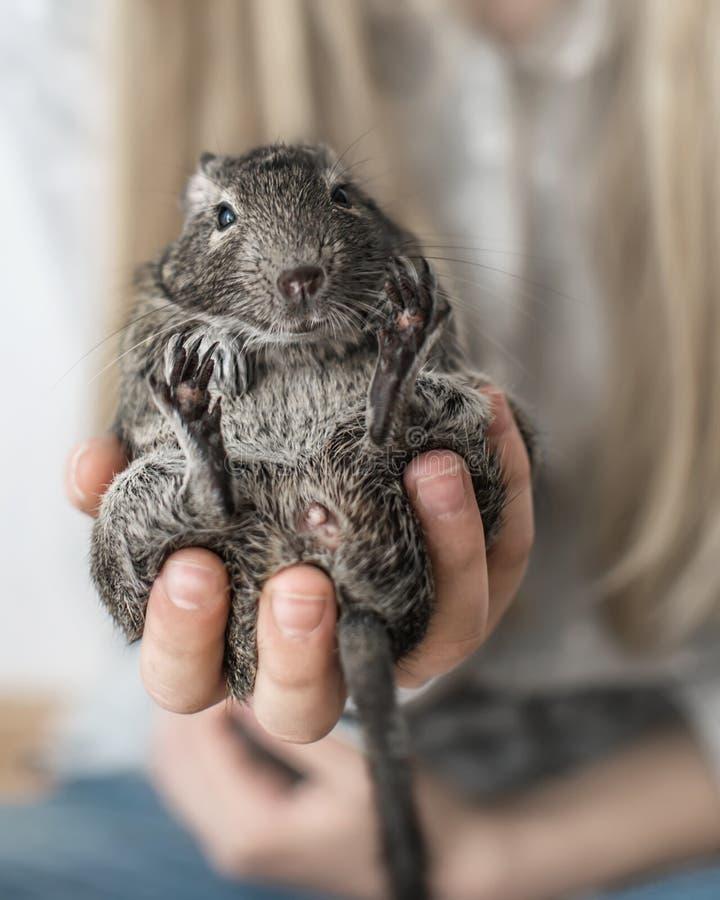 Jonge meisjestiener die kleine dierlijke gemeenschappelijke degueekhoorn houden Close-upportret van de leuke huisdierenzitting in stock afbeelding