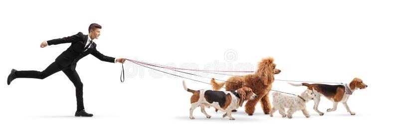 Jonge mens in een kostuum die een Maltese poedel, een rode poedel, brak en basset hondenhond lopen royalty-vrije stock afbeelding