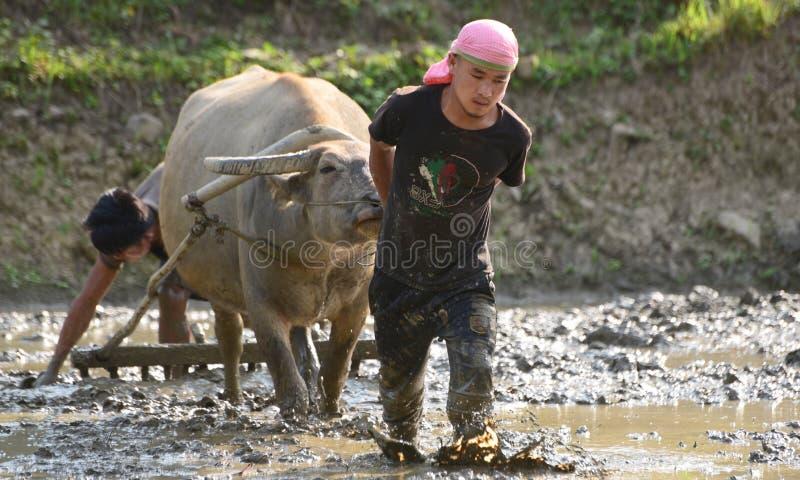 Jonge mensen die Padiegebied met waterbuffel ploegen stock afbeeldingen