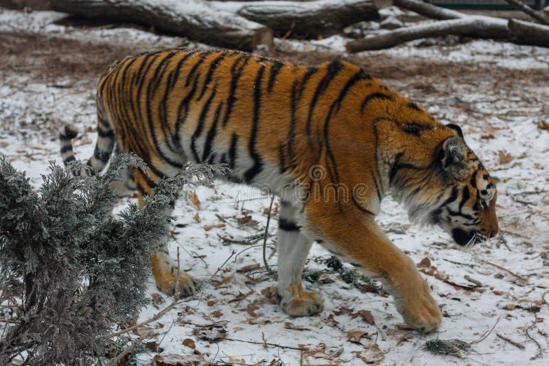 Jonge mooie amurtijger in Europese dierentuin stock afbeeldingen