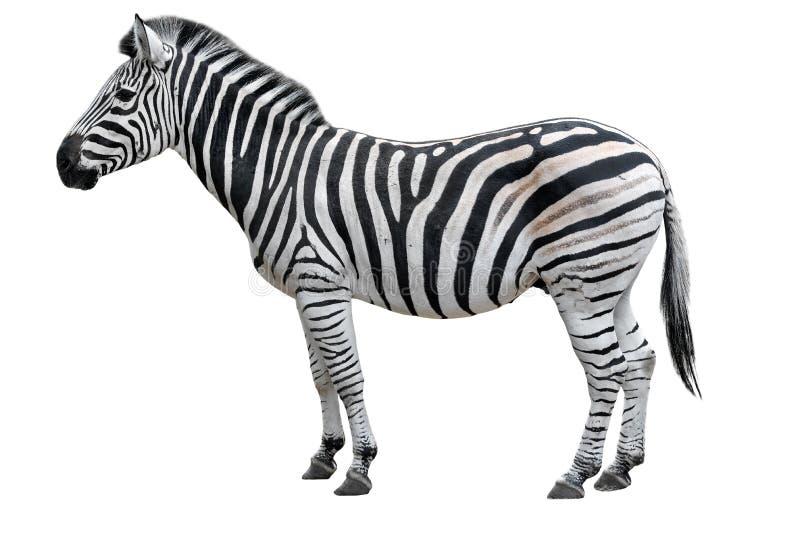 Jonge mooie die zebra op witte achtergrond wordt geïsoleerd Gestreepte dichte omhooggaand Gestreepte knipsel volledige lengte stock afbeeldingen