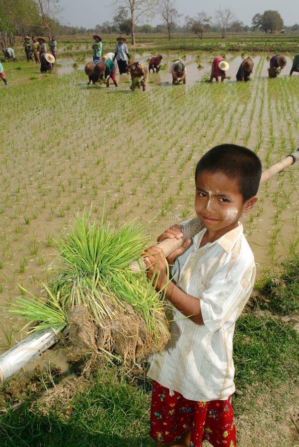 Jonge Myanmar landbouwer die in ricefield werken stock afbeelding